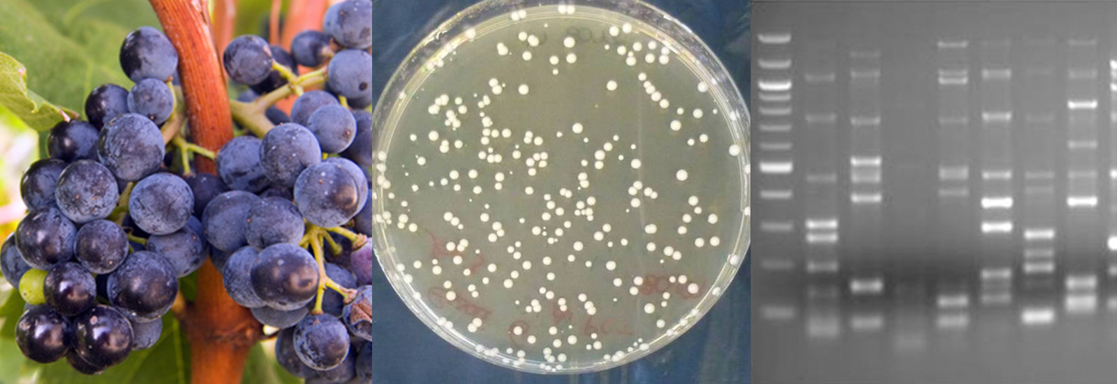 microflora aquitaine analyse microbiologie vin Bordeaux