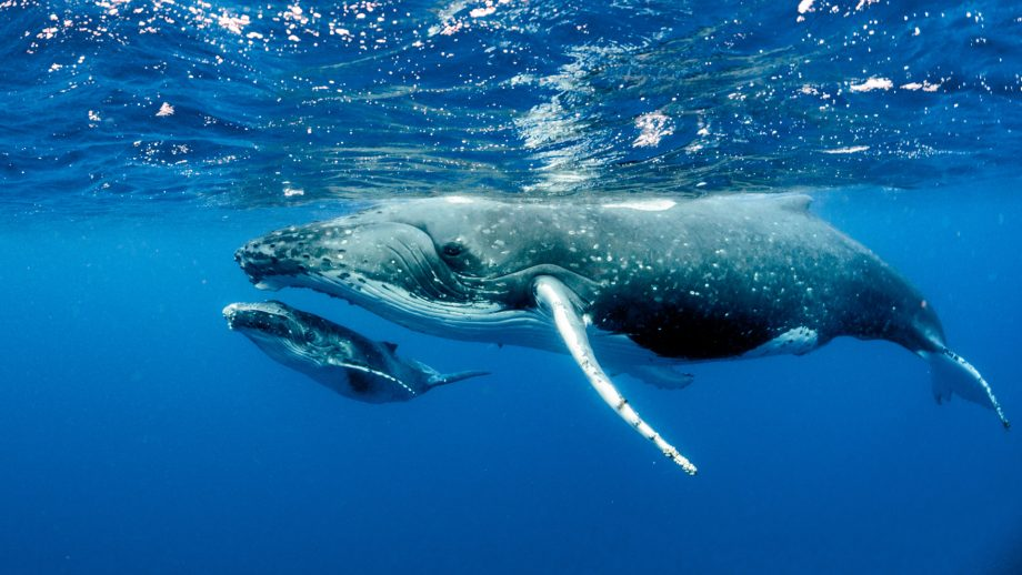cohabys baleines bosse guyane